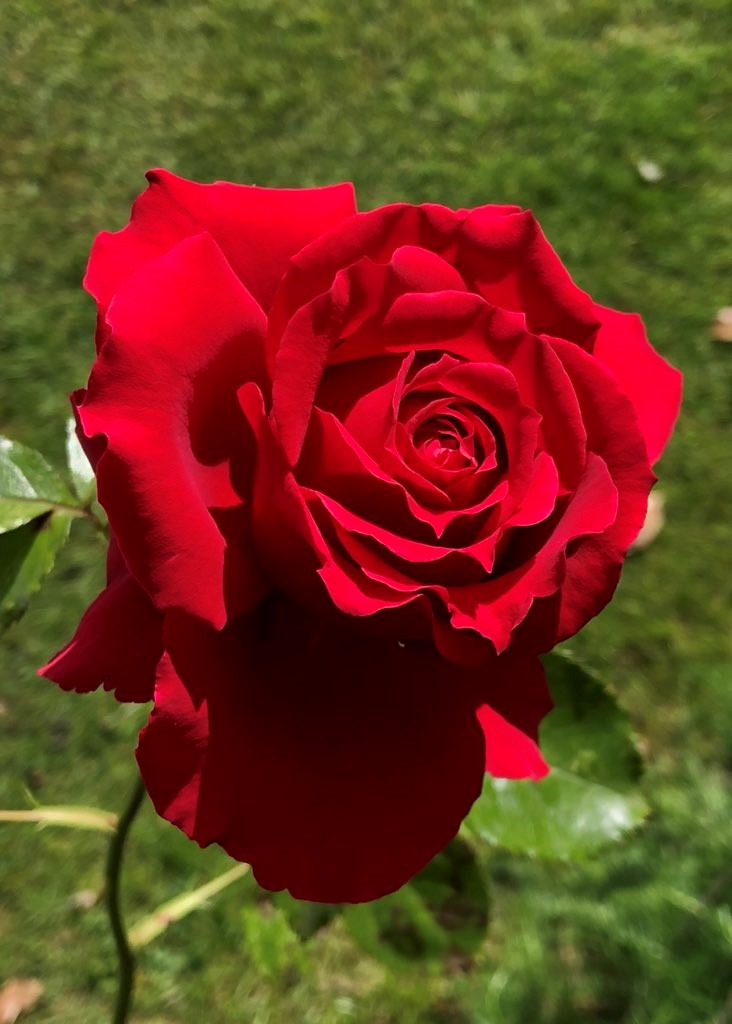 Alice's rose