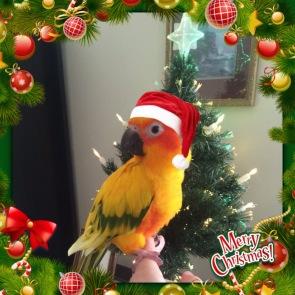 Zack Christmas Conure(2015)